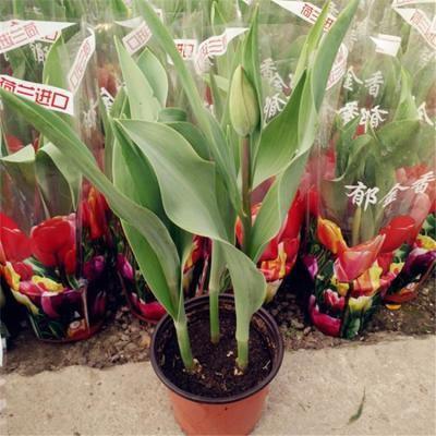 郁金香盆栽花苗植物室内阳台庭院绿植种球花卉带盆带花苞发货